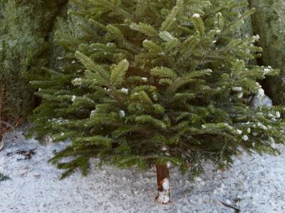 EVINTA_Weihnachtsfeier_Weihnachtsbaumschlagen_abgeholzter Weihnachtsbaum